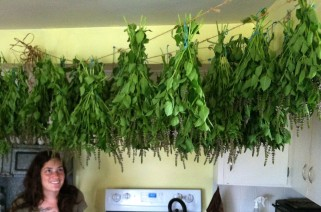 Drying Holy Basil everywhere.