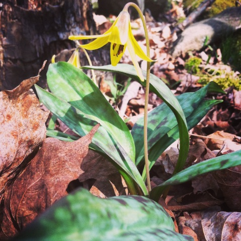 Trout Lily/Yellow Adder's Tongue