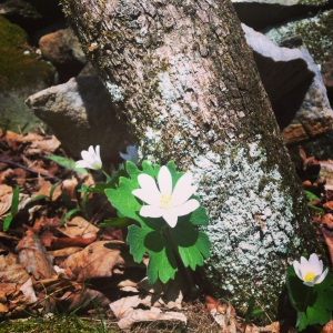Bloodroot by the stone wall
