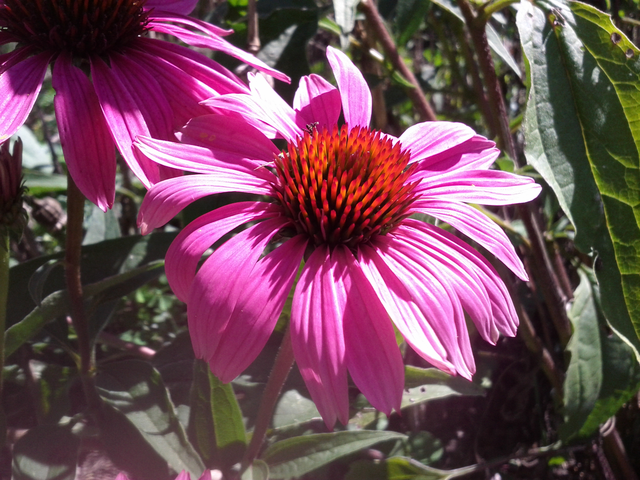Echinacea tincture. Properties and application 65