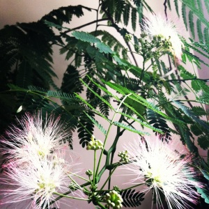 My mimosa tree bloomed!